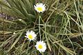 Alpine Daisy (4264196509).jpg