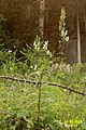 Alpine flora (31976085005).jpg