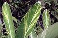 Alpinia zerumbet 15zz.jpg