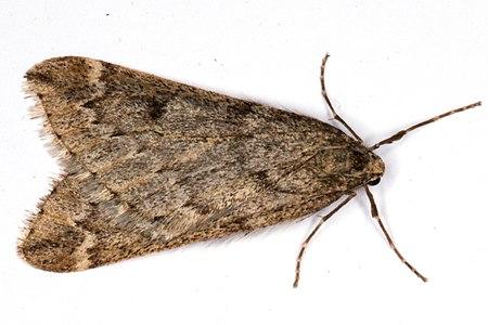 Alsophila aescularia02, Lodz(Poland)(js).jpg