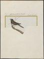Amadina striata - 1700-1880 - Print - Iconographia Zoologica - Special Collections University of Amsterdam - UBA01 IZ15900197.tif