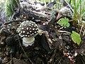 Amanita pantherina ts5.jpg