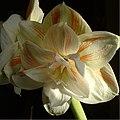 Amaryllis6.jpg