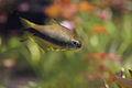 Amazon fish, Inpaichthys kerri (15756184036).jpg