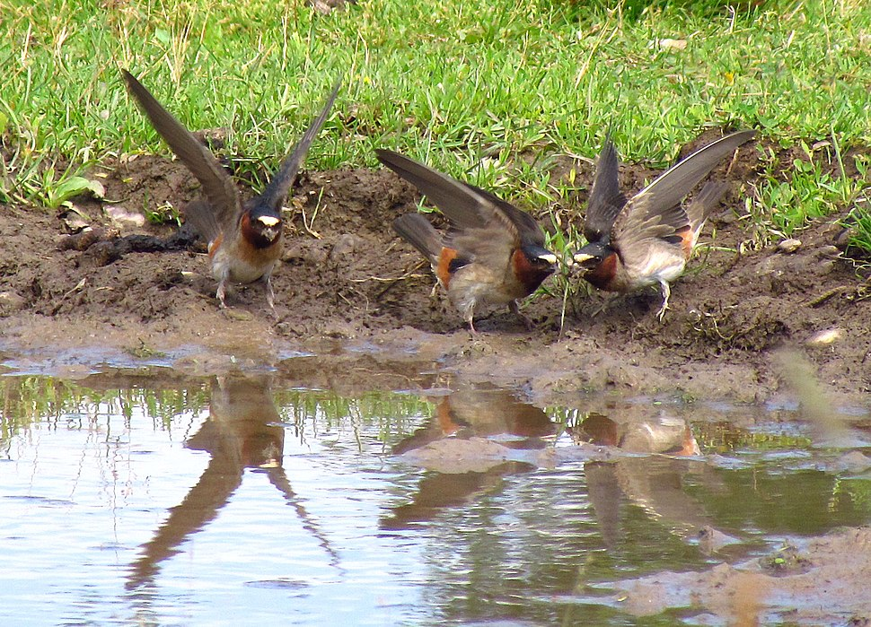 American Cliff Swallows, PE Cty
