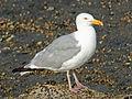 American Herring Gull RWD3 .jpg