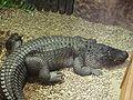 American alligator.jpg