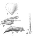 Amorpha fruticosa Taub115e.png