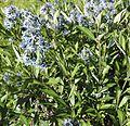 Amsonia orientalis Decne. (Apocynaceae)-1F.jpg