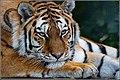 Amur or Siberian Tiger (Panthera tigris altaica) (48875636433).jpg