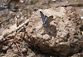 Anatolian Black-eyed Blue - Glaucopsyche astraea 03.jpg