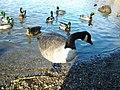 Anatre al lago piccolo di Avigliana.jpg