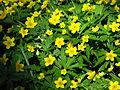 Anemone ranunculoides 12.JPG
