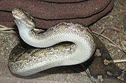 Bauchschuppen eines Angola-Python (Python anchietae)