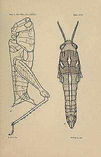 Annals of the South African Museum - Annale van die Suid-Afrikaanse Museum (1935) (18234339540).jpg