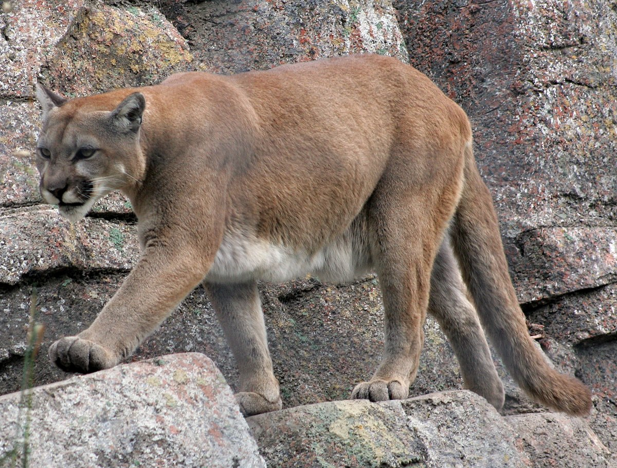 lyon cougar women The cougar (puma concolor), also known as the puma, mountain lion, panther, or catamount, is a large cat of the family felidae native to the americas its range, from the canadian yukon to the southern andes of south america, is the greatest of any large wild terrestrial mammal in the western hemisphere.