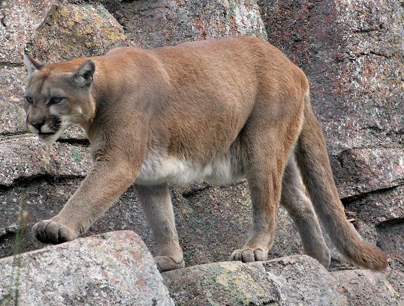 File:Annoyed Mountain Lion (1413305571).jpg
