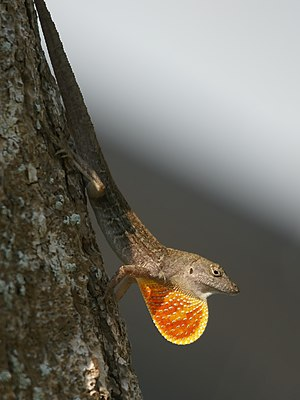 Dear enemy effect - A brown anole displaying with its dewlap
