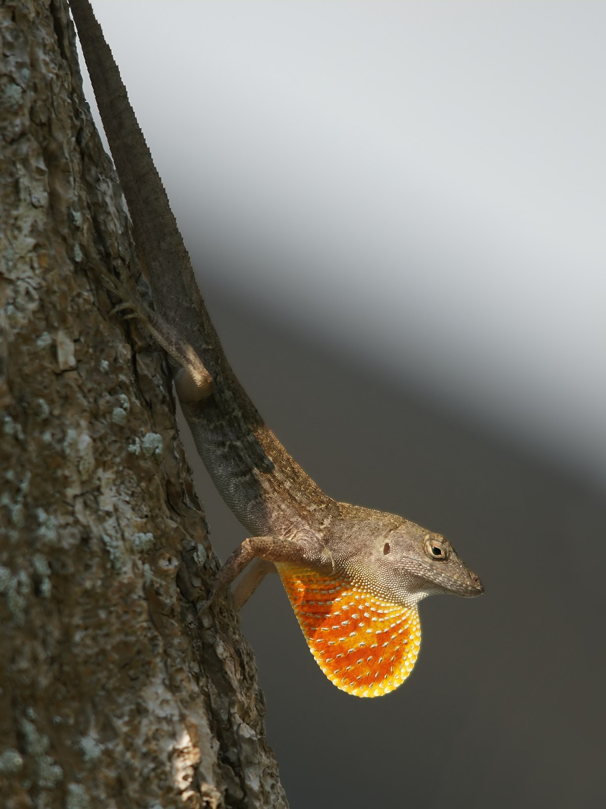 brown anole wikipedia