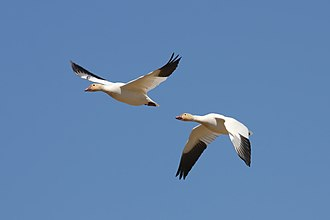 Goose - Snow geese in Quebec