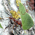 Ant, Harvester (239161960).jpg