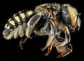 Anthidium maculifrons, F, side, Florida, St. Johns County 2013-01-24-14.20.49 ZS PMax.jpg