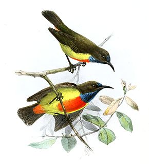 Description de l'image Anthreptes anchietae Keulemans.jpg.