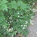 Anthriscus sylvestris & Acer pseudoplatanus seedling in Hertenduin lands.jpg