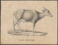 Antilope depressicornis - 1700-1880 - Print - Iconographia Zoologica - Special Collections University of Amsterdam - UBA01 IZ21200175.tif