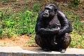 Ape in Arignar Anna Zoological Park.jpg