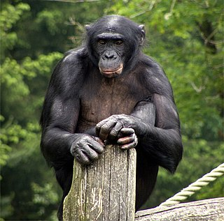 Bonobo One of two species in the genus Pan, along with the chimpanzee