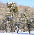 Apfelbaum mit Misteln im Winter.png