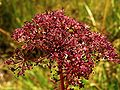 Apiaceae20090812 279.jpg