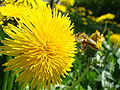 Apis mellifera approaching by flying a dandelion.JPG