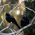 Aplonis metallica -Phoenix Zoo, Arizona, USA -two-8a.jpg