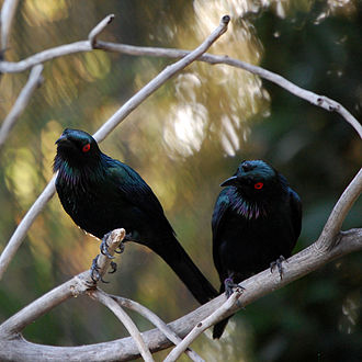 Metallic starling - Image: Aplonis metallica Phoenix Zoo, Arizona, USA two 8a