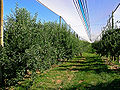 Apple farm Red Delicious hail nets.jpg
