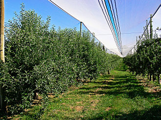 Red Delicious - Rows of trees under hail nets