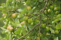 Apples in Lustleigh orchard (1522).jpg