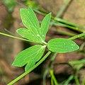 Aquilegia vulgaris in Aveyron (5) V.jpg