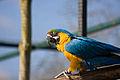 Ara ararauna -Twycross Zoo-6.jpg