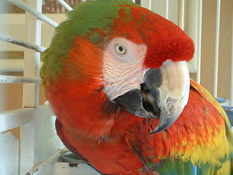 Digestion - A Catalina Macaw's seed-shearing beak