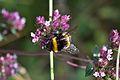 Araignées, insectes et fleurs de la forêt de Moulière (Le Gâchet de Villiers) (29024266442).jpg