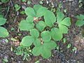 Aralia nudicaulis 4-eheep (5097213783).jpg
