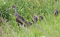 Aramus guarauna (Limpkin) 18.jpg