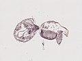 Araneae (YPM IZ 093469).jpeg