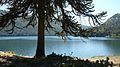 Araucaria en Laguna Icalma.jpg