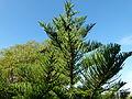 Araucaria heterophylla Montjuic.jpg