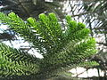 Araucaria luxurians leaves 03 by Line1.JPG