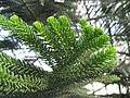 Araucaria luxurians leaves 03 by Line1.JPG